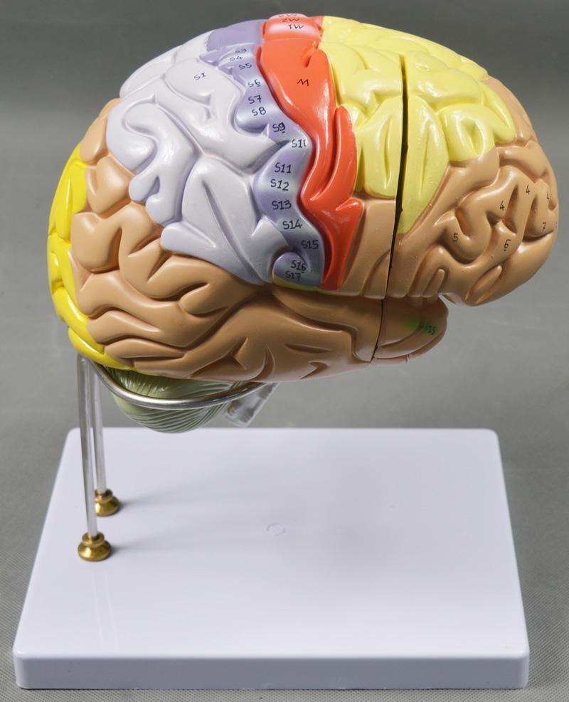 Magnify Human Anatomical Brain Anatomy Medical Teach Model ...